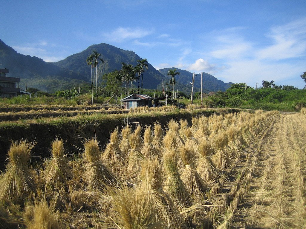Different varieties of rice straw provide a wide